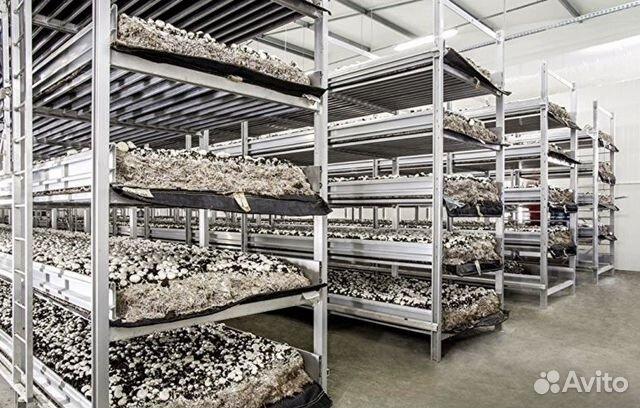 Выращивание грибов вешенки в домашних условиях как бизнес