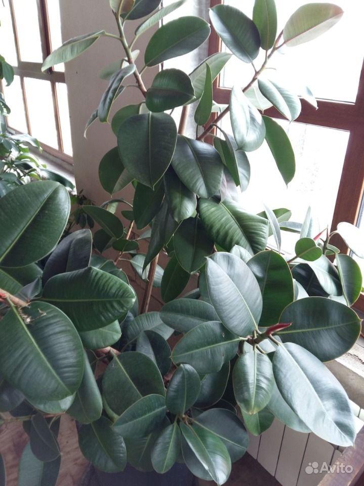 фикус robusta