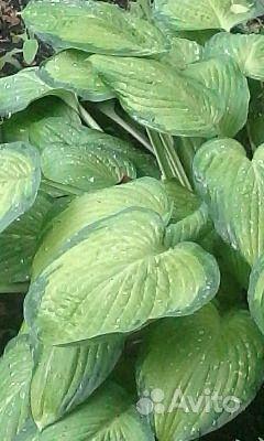 Хоста с темно-зеленым крем купить на Зозу.ру - фотография № 1