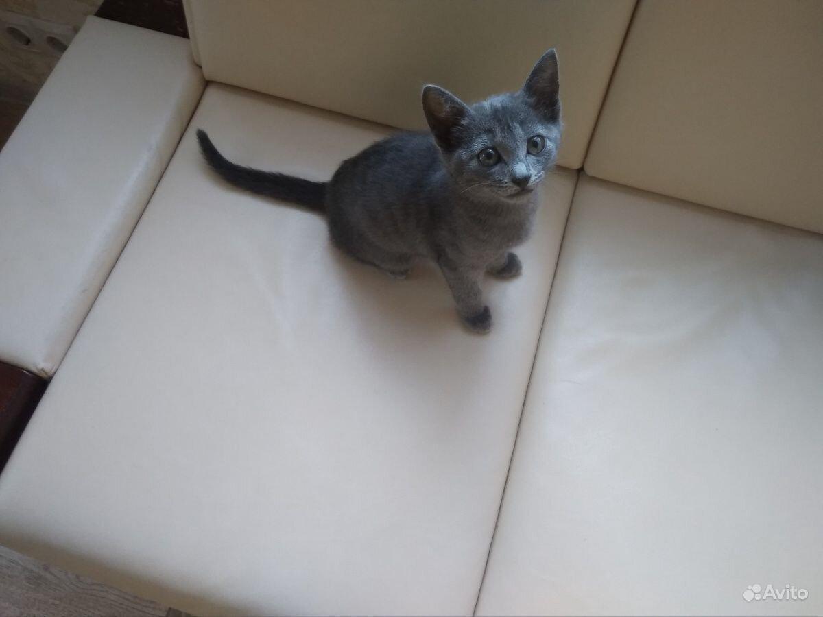 Кошечка русская голубая 2,5 месяца