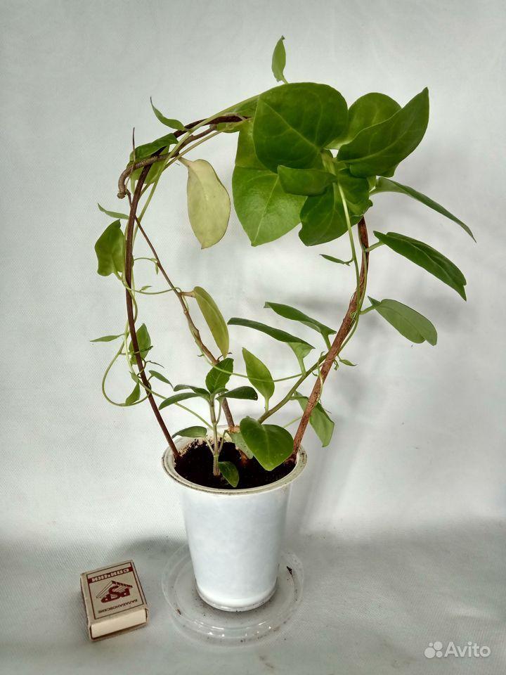 Комнатные растения - кактусы, смотрите и другие ра купить на Зозу.ру - фотография № 7