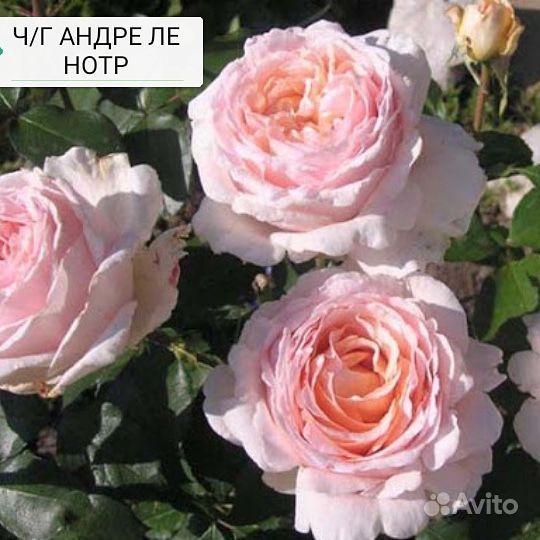 Саженцы роз купить на Зозу.ру - фотография № 3