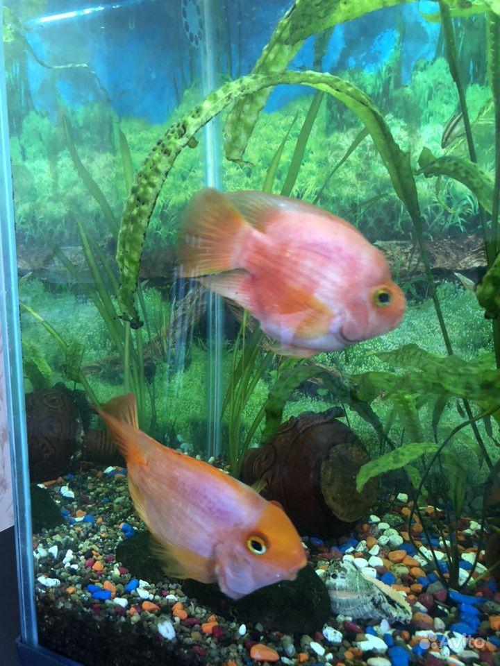 Рыба попугай купить на Зозу.ру - фотография № 4