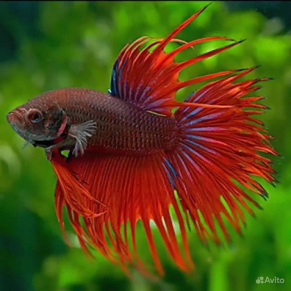 Рыба петушок (корона) купить на Зозу.ру - фотография № 1