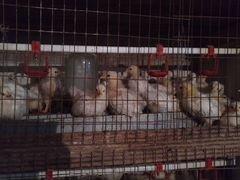 Суточные и подрост цыплята