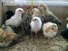Цыплята бройлера, индюшата на март и апрель