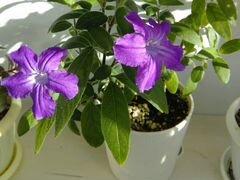 Комнатный цветок Руэллия