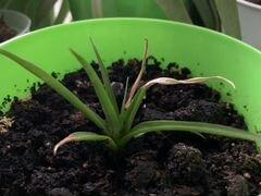 Ананас растение