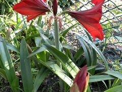 Амарилиус цветок