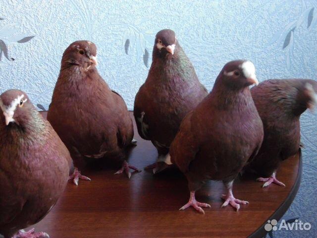Курские голуби
