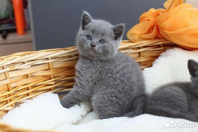 Британские котята в Санкт-Петербурге из питомника, купить ...