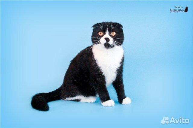 черно-белые котята вислоухие фото #10