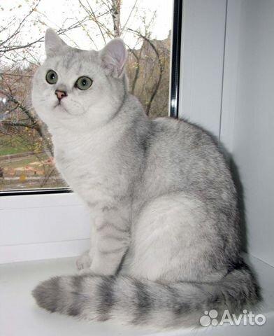 шиншиллы фото глаз шотландские котята