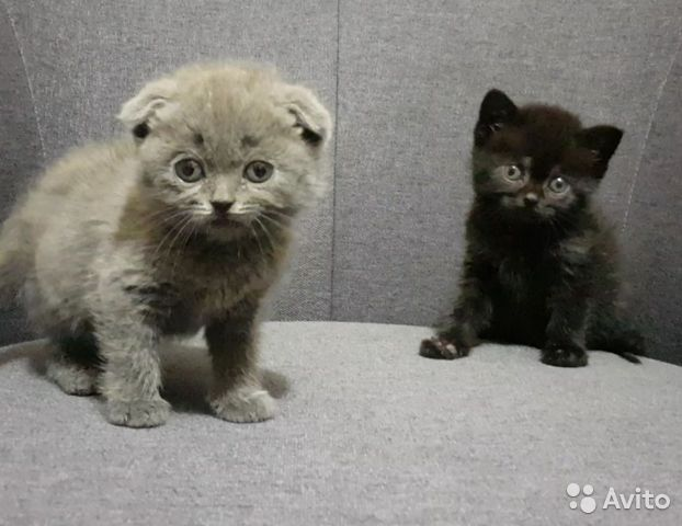 Шотландские котята бесплатно
