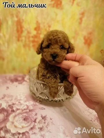 Высокопародные щенки Той пуделя РКФ купить на Зозу.ру - фотография № 3