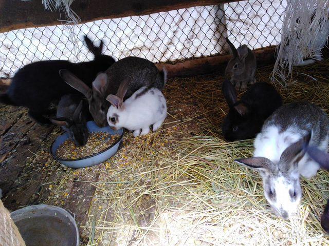 Кролик  89286029239 купить 1