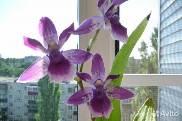 Орхидея зигопеталум (зигонизия)  купить 1