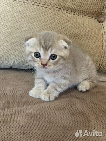 Продам шотландских котят 89787428602 купить 3