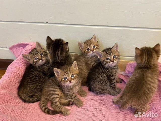 Кошка  89217221222 купить 1