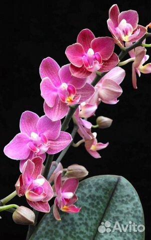 Орхидеи  89091710609 купить 4