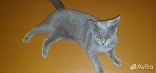 Шотландская кошка ищет кавалера  89144116723 купить 1