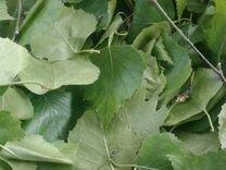 Лист березовый свежий