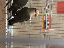 Неразлучники оливковые — Птицы в Москве
