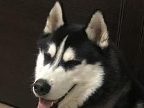Вязка (кобель Сибирский Хаски) — Собаки в Геленджике