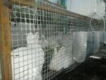 Новозеландские белые кролики (нзб) на племя