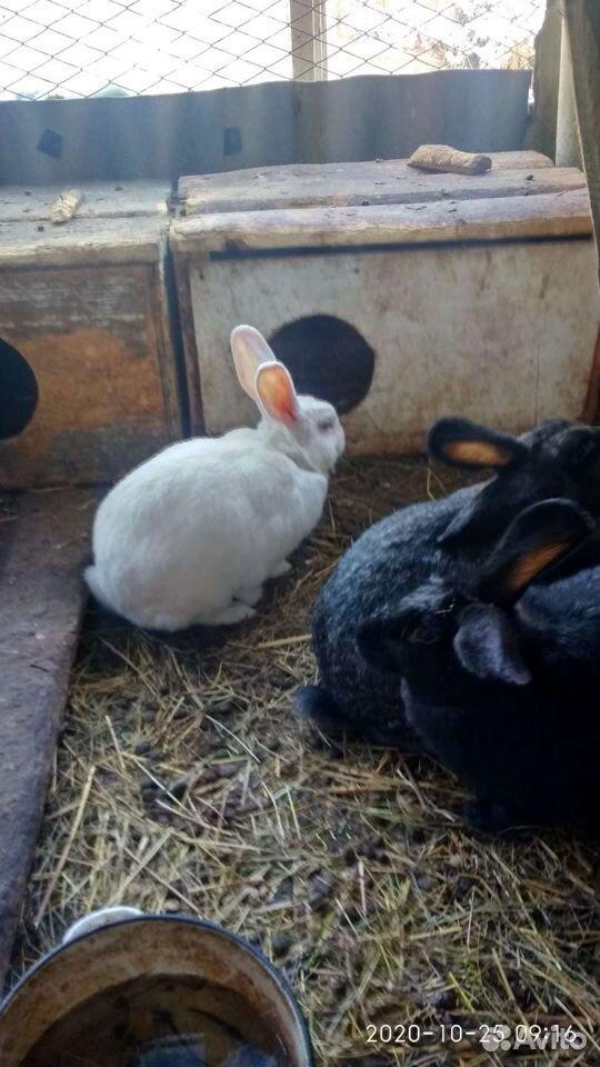 Кролик  89835018830 купить 2