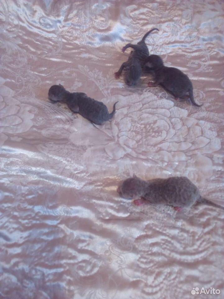Котята корниш-рекс  89095040789 купить 2