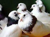 Голуби гривуны