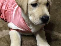 Продается щенок породы Лабрадор ретривер (девочка)
